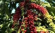 Chuvas mais regulares ajudam a recuperar lavoura de café em Arataca, no sul do estado