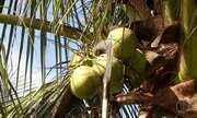 Conheça um fazenda de coco de São Pedro da Aldeia, no RJ