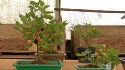 Árvores bonsai são ótimas pedidas para quem vive em apartamento