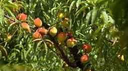 Frutas são atingidas por mudanças bruscas de temperaturas