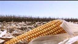 Alta do dólar cria situação curiosa para produtores de milho em Goiás