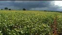 Fortes chuvas que propiciam surgimento de pragas preocupam produtores em Rio Verde, GO