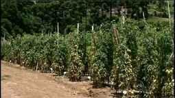 Preço do tomate volta a subir nos mercados: entenda motivo