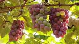 Palestra fala sobre cultivo da uva e da goiaba em Uberlândia