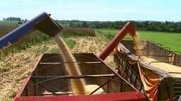 Quadra registra queda na produção de milho branco