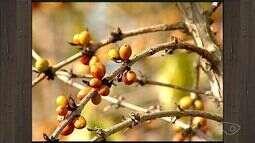 Seca prejudica colheita e deixa produtores de café endividados no ES