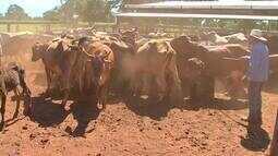 Doze milhões de animais devem ser vacinados contra a febre aftosa em MT