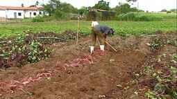 Produção da batata anima produtores