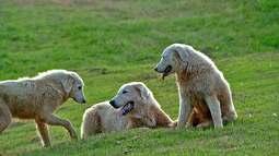 Maremano, o cão-pastor