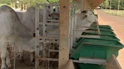 Embrapa desenvolve sistema que avalia potencial produtivo de bovinos da raça nelore em MS