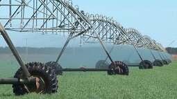 Plantio do trigo gera bons resultados a agricultores no oeste baiano