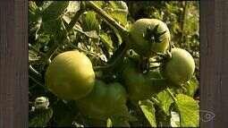 Com queda na produção de tomate, produtores abandonam cultura, no ES