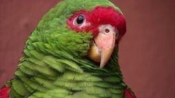 Globo Natureza: Papagaio-Charão