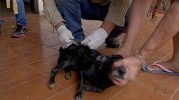 Vacinação contra raiva é feita em cães e gatos em Campo Grande