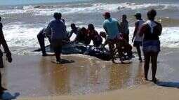 Filhote de baleia é encontrado em Pontal do Ipiranga, Linhares, ES