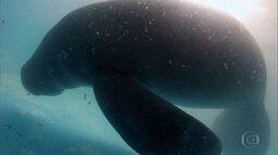 Operação devolve à natureza o peixe-boi, animal quase extinto
