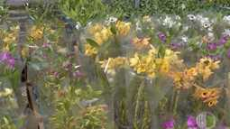 Qualidade da orquídea dendróbium agrada produtor no Alto Tietê