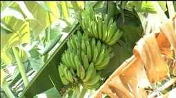 Bananeiras dão menos frutos por causa da mudança no tempo