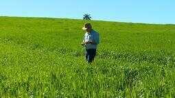 Conheça o trigo de duplo propósito cultivado no RS