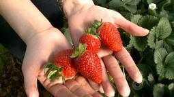 Produtores do RS e SC começam a colheita dos morangos