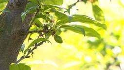 Com bom tempo, produção de ameixa cresce no RS