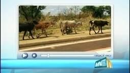 VC no MGTV: Telespectador flagra animais soltos em via de Uberaba