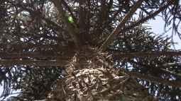 Conheça o trabalho para preservação da floresta de araucárias (parte 2)