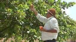 Produção de caju é destaque do agronegócio cearense