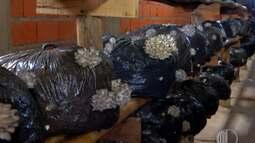 Fungicultor de Suzano fornece compostos de shimeji para exposição