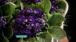 Produtor cultiva versão dobrada da violeta em Holambra