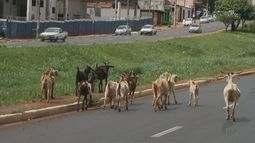 Cabritos são flagrados em importante avenida da zona norte de Ribeirão Preto