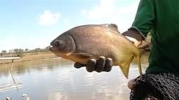 Piscicultores apontam vantagens em investir em peixes redondos