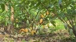 Agricultor cultiva cacau sem utilizar agrotóxico
