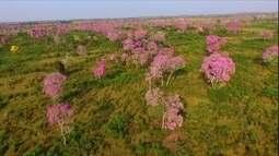 Ipê tem 100 espécies e é a árvore ornamental mais plantada no Brasil