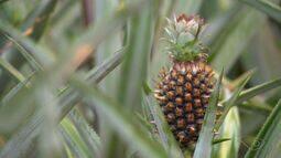 Chuva ajuda no desenvolvimento de abacaxi e produtores comemoram alta do preço, no ES
