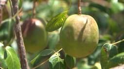 Pesquisas são desenvolvidas para preservar espécies de frutos da árvore umbuzeiro