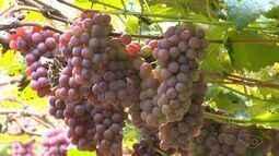 Jovem investe em produção orgânica de uva e morango em Domingos Matins, no ES