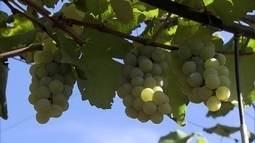 Casal transforma solo cheio de pedras no Lago Norte numa imensa plantação de uvas