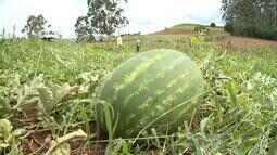 Produtores de Caxambu do Sul comemoram boa safra da melancia