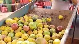 Custo de produção menor de maracujá tem atraído agricultores de Araguari