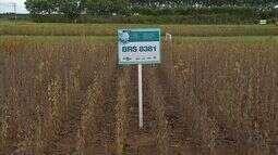 Aumenta o desenvolvimento de cultivares convencionais de soja