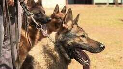 Pastor-alemão, um cão fiel e protetor. Tambor vira sofá. (Bloco 02)