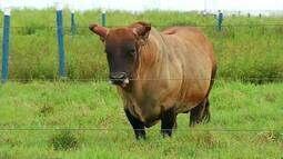 Embrapa estimula comércio de material genético de gado da raça 'curraleiro' no Triângulo