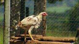 Produtores de frango caipira em Uberlândia registram aumento nas vendas