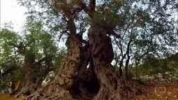 'Irmãs oliveiras' estão entre as árvores mais antigas do mundo