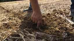 Produtores investem na produção de milho 'safrinha'