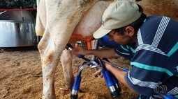 Pequenos produtores melhoram a qualidade do leite produzido, em Goiás