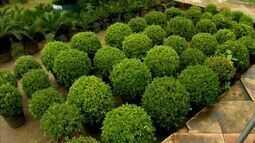 Topiaria: aprenda como podar e moldar plantas em arte decorativa