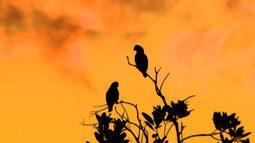 Pesquisadores contam papagaios