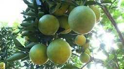 Produção de laranja está prevista para ficar acima da média em Jerônimo Monteiro, ES